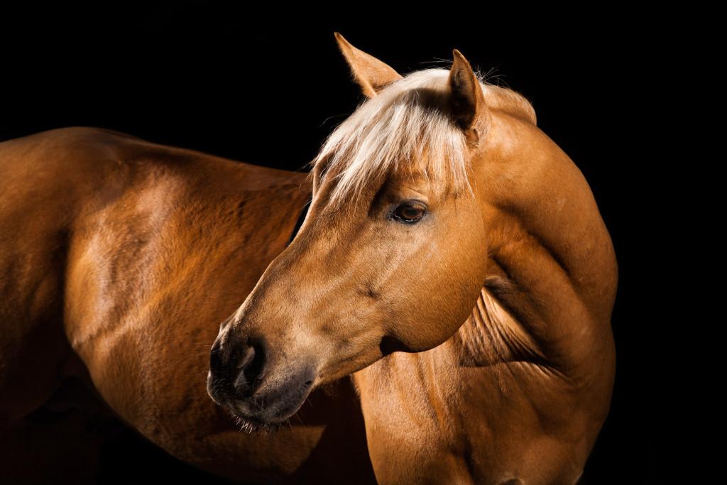 Topchex Eliot – Pferdeportrait mit Blitzlicht vom Hengst Topchex Eliot. Wenn Du auch solche Fotos von Deinem Pferd haben möchtest, nimm einfach Kontakt mit mir auf und wir sprechen mal über die Möglichkeiten.